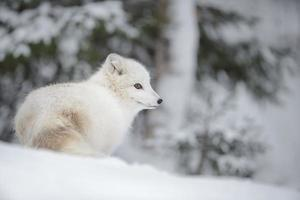 le renard arctique photo