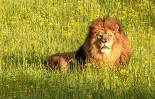 lion majestueux dans un pré photo