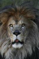 Lion d'Afrique mâle aux yeux larges avec la langue qui sort photo