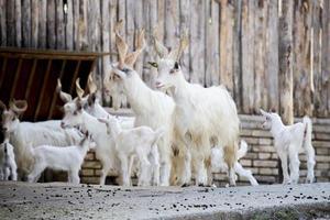 troupeau de chèvres domestiques girgentana avec enfants photo