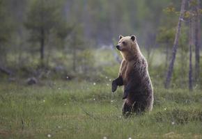 ours brun, ursus arctos photo