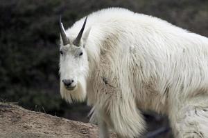 chèvre de montagne