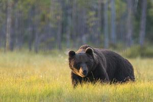 ours brun observer dans la forêt photo