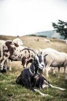 chèvre dans la montagne photo