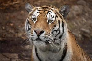 tigre photo
