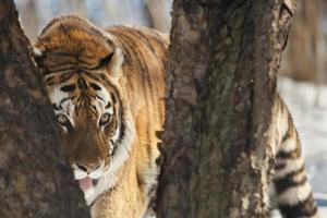 le tigre de Sibérie photo