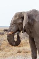gros éléphants d'Afrique sur le parc national d'Etosha