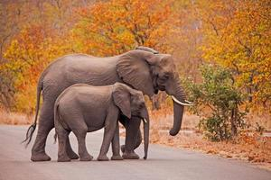 éléphants traversant