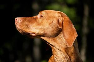 Profil de chien vizsla ensoleillé