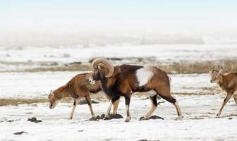 troupeau de mouflons photo