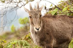 nilgiri tahr (chèvre de montagne) photo