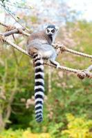 lémurien catta au zoo. lémurien à queue anneau sur échelle de corde photo