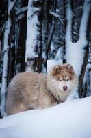 perro samoyedo en la nieve photo