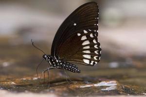 papillon corbeau photo