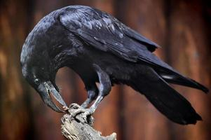 corbeau commun photo