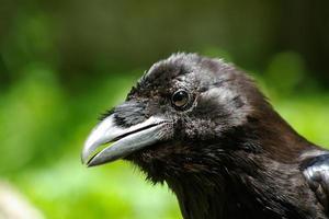 tête de corbeau photo