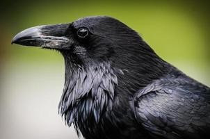 corbeau commun (corvus corax)