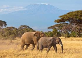 éléphants du kilimandjaro photo