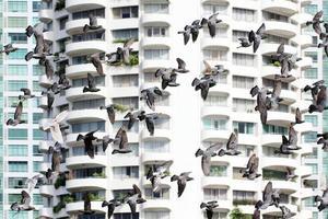 pigeon volant photo