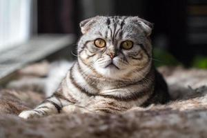 chaton British shorthair photo