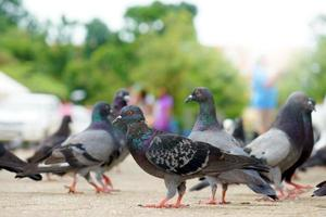 pigeons sur la route. photo