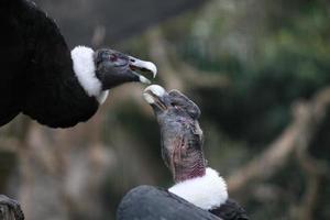 aimer les condors photo