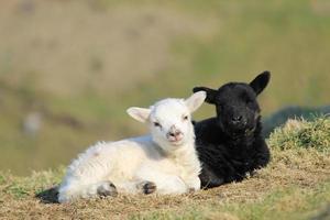 deux mignons petits agneaux photo