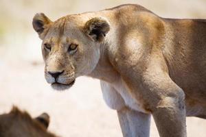 lion en tanzanie photo