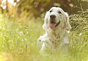 beau et mignon golden retriever amusant photo