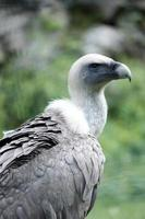 vautour fauve photo