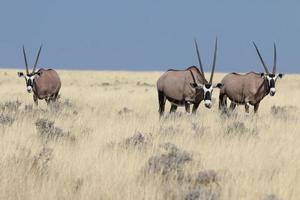 groupe d'oryx photo
