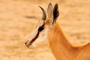 jeune springbok photo