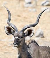 kudu photo