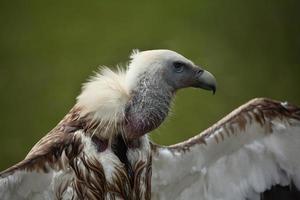 vautour himalayen (gyps himalayensis). photo