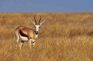 Springbok mâle