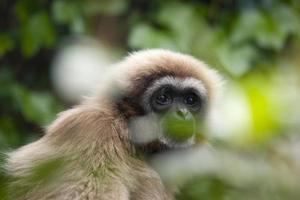 lar gibbon photo