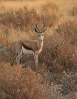 antilope springbok photo