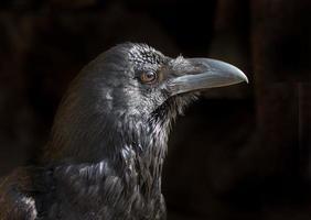 Corbeau noir photo