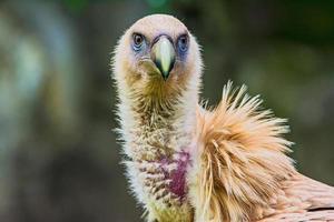 vautour fauve de l'Himalaya photo