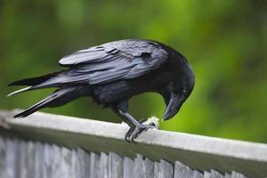 alimentation du corbeau photo