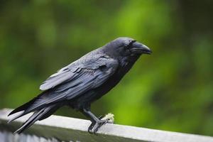 corbeau sur une clôture photo
