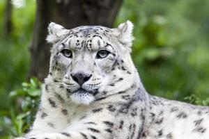 léopard des neiges photo