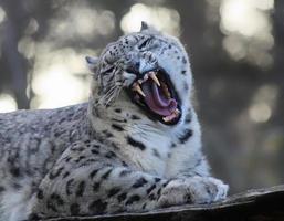 léopard des neiges rugissant photo