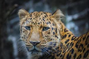 léopard dans le zoo
