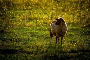 moutons sur la pelouse.