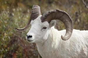 dall moutons ram à denali national park, alaska usa photo