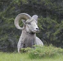 bighorn ram regarder photo