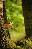 le renard roux derrière le tronc d'arbre jette un coup d'oeil photo