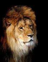 portrait de lion photo