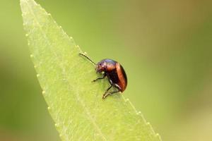 scarabée photo